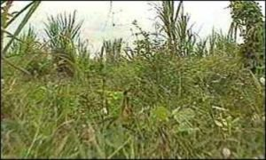 Плантация сахарного тростника за домом маньяка Ахмад Сураджи.