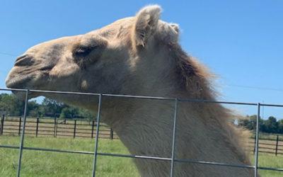 Скандалы и криминал: Дружелюбный верблюд по имени Каспар на прошлой неделе получил необычную травму