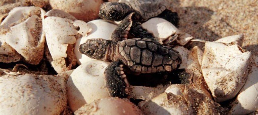 Скандалы и криминал: Двое мужчин были арестованы в тот момент, когда пытались украсть около 100 яиц морских черепах